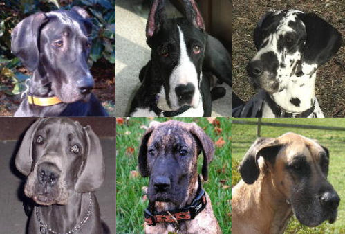 Great Danes Consuming And The American Dream